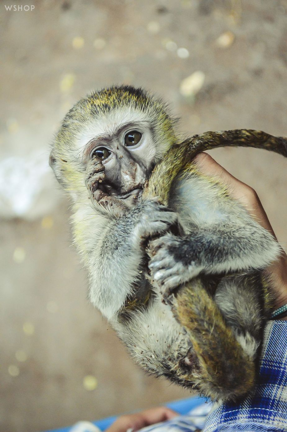 A young female monkey